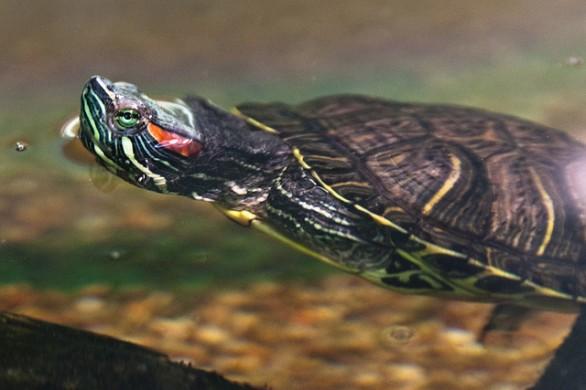 Alimentazione tartarughe acquatiche ambulatorio for Letargo tartarughe acqua