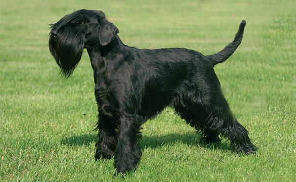 Cani di razza: Pinscher e Schnauzer