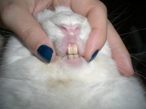 I denti del coniglio