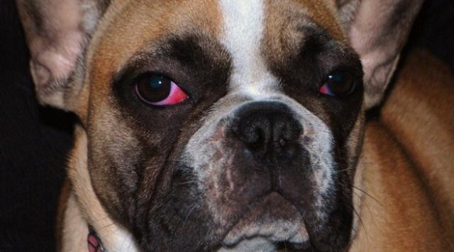 Congiuntivite allergica del cane