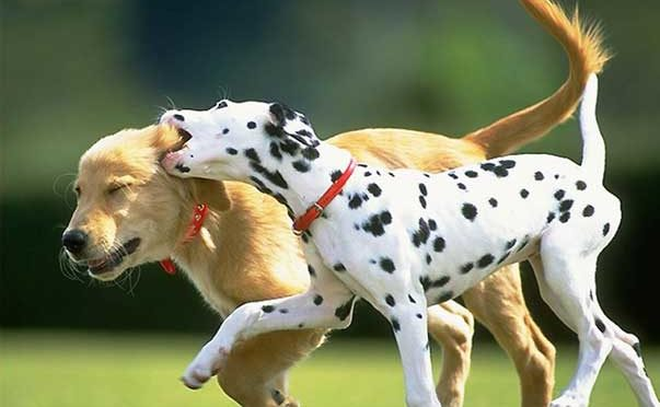 Gestione riproduttiva del cane femmina.