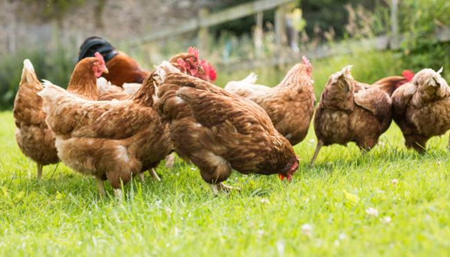 Acaro rosso del pollo (pollini)