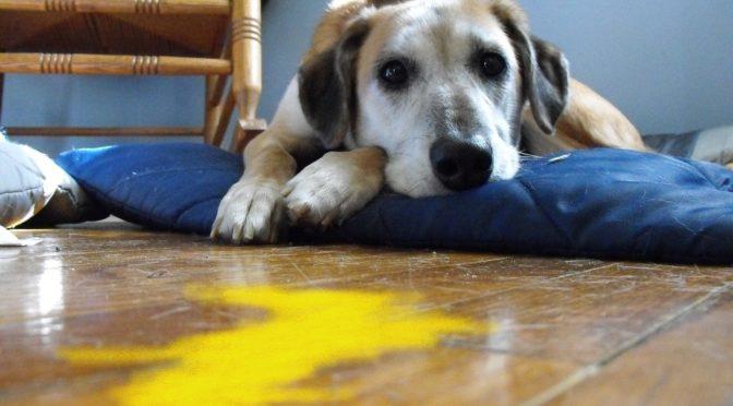 Il vomito nel cane
