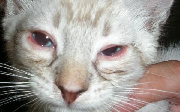 Gli occhi arrossati nel gatto