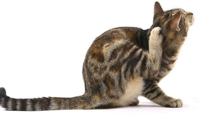 Il prurito nel  gatto
